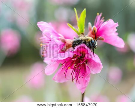 Bumble bee covered in pollen from blossoms in a fruit tree orchard.  Seasonal springtime sunshine on pink petals.  Busy bee pollinating fruit blooms.