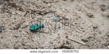 Metallic Green Six spotted Tiger beetle - (Cicindela sexguttata).  Makes his way along a sandy part of woodland floor, hunting for insects.