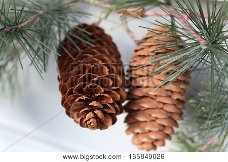 two pine cones hanging in a pine tree showing pine needles backdrop