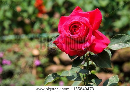 Blooming red rose in the large rose garden in Thailand