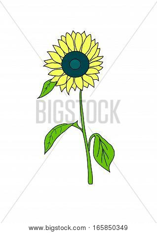 The yellow mature sunflower  on a white background.