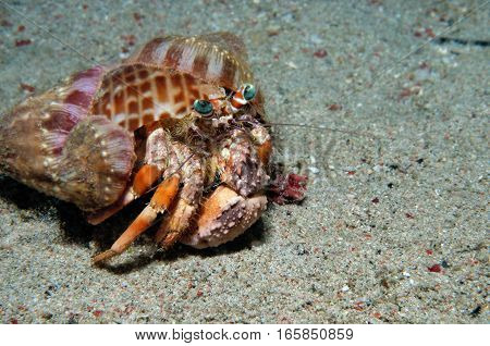 Anemone hermit crab laden with anemones for camouflage and defense, Puerto Galera, Philippines