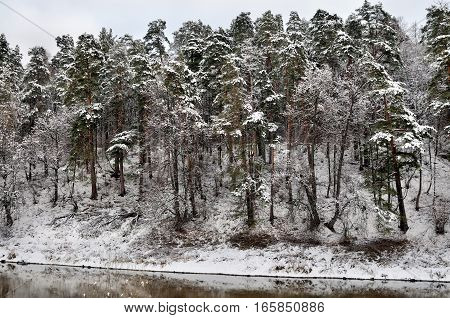 Pine tree forest growing on a high river bank is covered with snow, Desna river, Podolsk, Moscow region, Russia