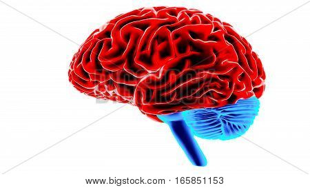 Human brain isolated on white background. 3D render