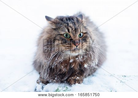 Siberian Pedigree Cat, Not Amused About Winter