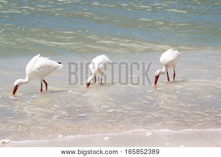 White Ibis birds while fishing in USA Florida.