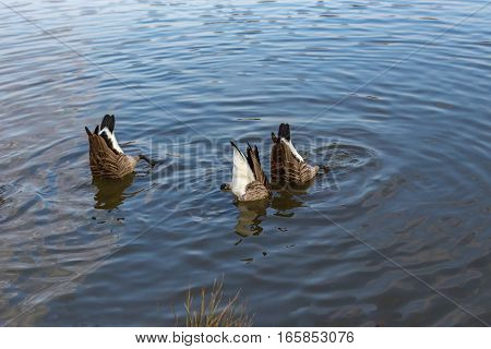 Three Canadian geese with just their bottoms showing in the lake.