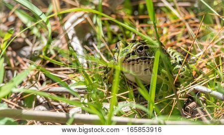 Common spotty green Northern leopard frog.  A summer's day finds this amphibian animal sitting in the grass and warming in the sun.