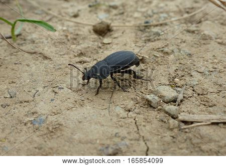 Photo of a black beetle standing on a dry soil