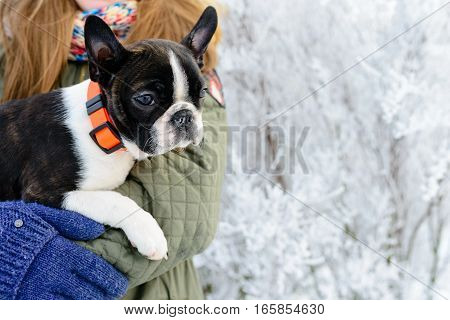 Boston terrier puppy at the hands of its owner in the winter scenery