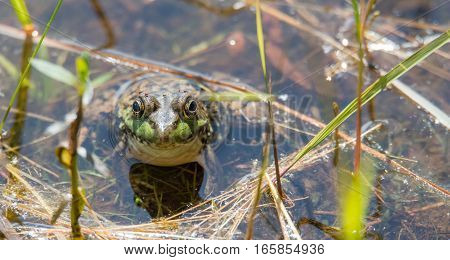 Springtime, big green bullfrog partially submerged in a pond waiting for prey.   Blood sucking insects take advantage of the still animal, their tiny bodies swollen with a blood meal.