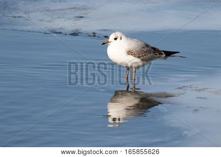 Common gull (Larus canus) on frozen lake