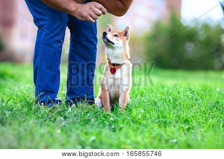 A young shiba inu pay attention to his owner at dog school.