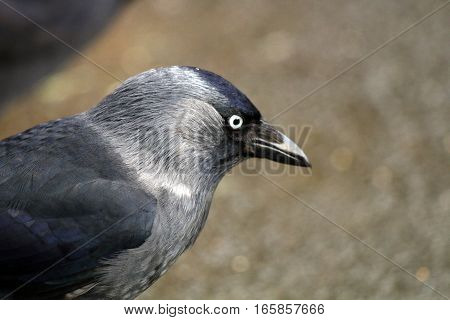 A Jackdaw with feathers shining in the light