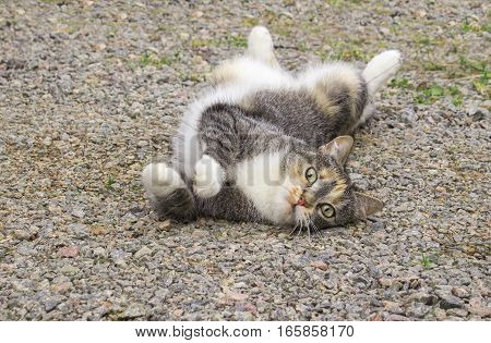 Stretching gray and white striped little cat lying on the ground