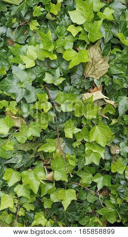Green Ivy Background - Vertical
