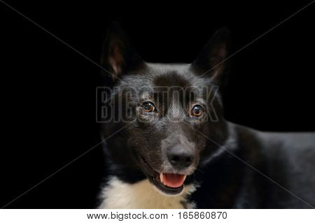 Dog Laika Russo-European black and white spots color. Beautiful hunting Husky isolated on black background. Eyes of his beloved doggy. Portrait of a pet animal Northern dogs.