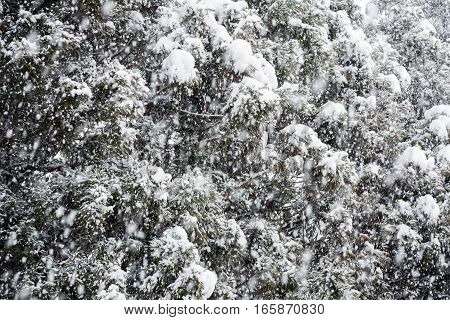 Close up conifer trees in heavy snow