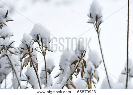 Snowy azalea trees in front of white background