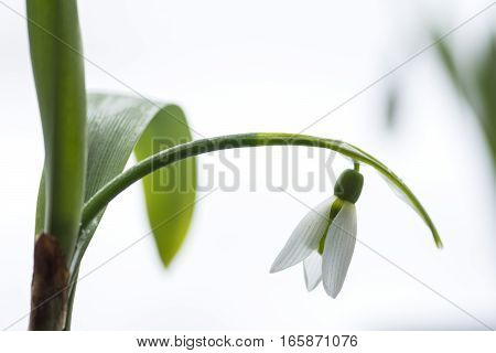 A snowdrop flower in front of white background