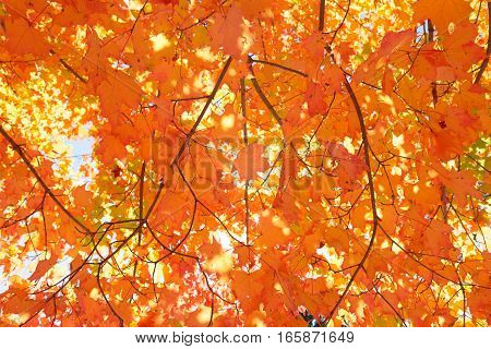 Full frame orange and yellow maple leaves in autumn.