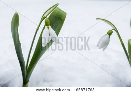 Snowdrop flowers in front of white snow
