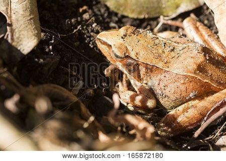 Brown frog(Rana japonica) sleeping on soil in winter
