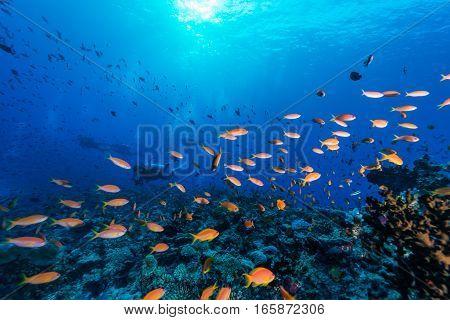 School of Basslet in Maldives island .