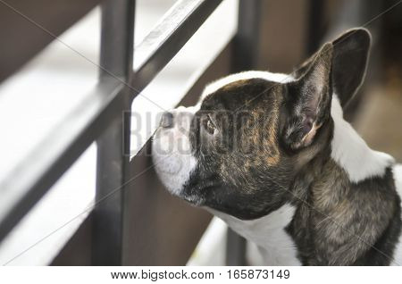 an absent minded French bulldog or a French bulldog near the fence