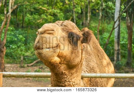 Camel's smile. Cute and funny face of wild animal