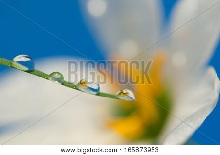 Drop of water on the flower, Blue background.