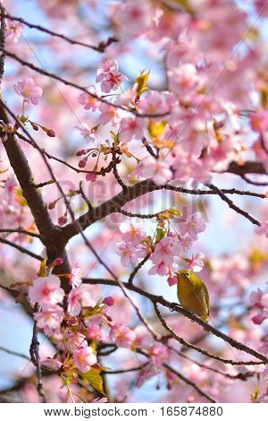 A white-eyes staying in a branch of a cherry tree