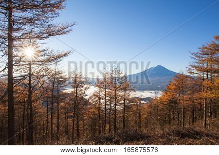 Yellow forest tree in autumn season and Top of Mountain Fuji