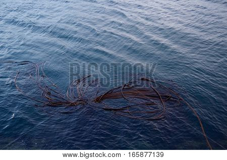 A raft of bull kelp floats in the winter sea off of Ogden Point Victoria BC.