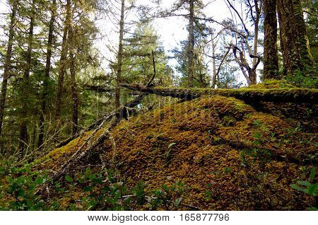 A rock bluff in a forest is covered by golden feather moss and fallen trees. Douglas firs and cedars surround the rocky outcrop in East Sooke Park Vancouver Island BC.