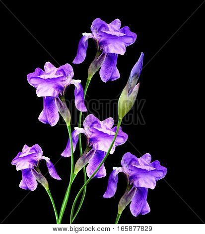 spring flowers iris isolated on black background.