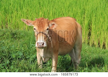 animal red calf child cow farm agriculture cows grazing on a green field.