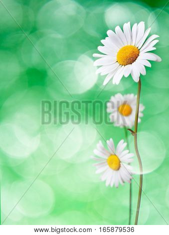 Beautiful daisy flowers on green background. Wonderful chamomile.