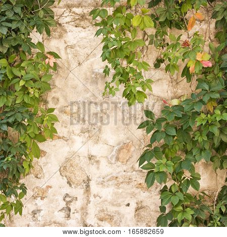 A square photo of green leaves against an old stone wall, a background with copyspace
