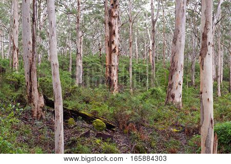 Karri Forest in the south west of Western Australia near Dunsborough and Margaret River - Boranup / Pemberton. South Western Australia, Australia.