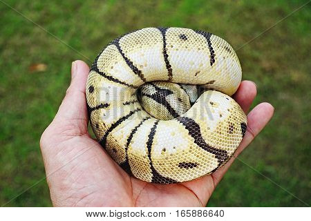 Emperor boa (Boa constrictor imperator) on hand Portraits Animals