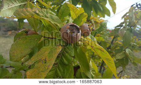 A few medlars in fruit tree in autumn