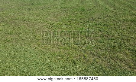 Field with green grass in a summer day
