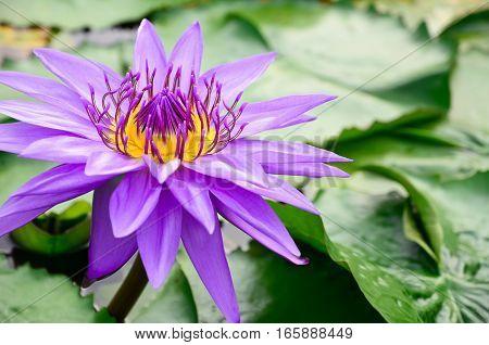 Closeup beautiful purple lotus in the pond