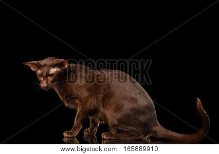 Brown Oriental Cat sitting and sad looking down isolated black background, side view