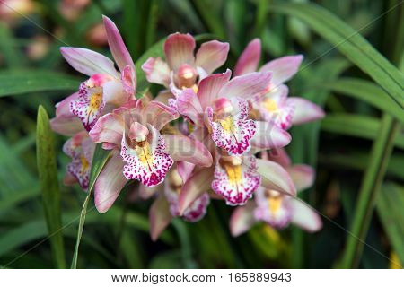 Beautiful Color Of Cymbidium Orchids