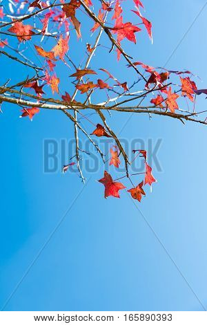 Leaves Mable Change Color On Blue Sky Background