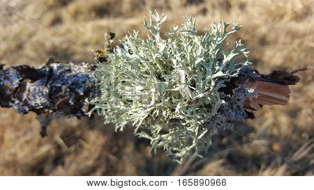 Lichens on tree branch with grass in the background