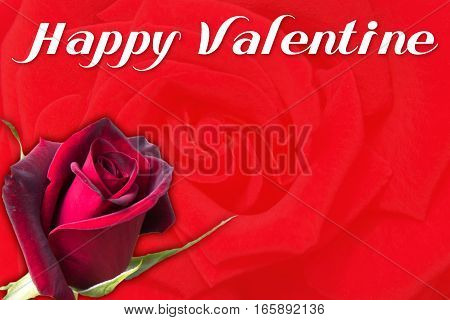 beautiful close up red rose and red rose background