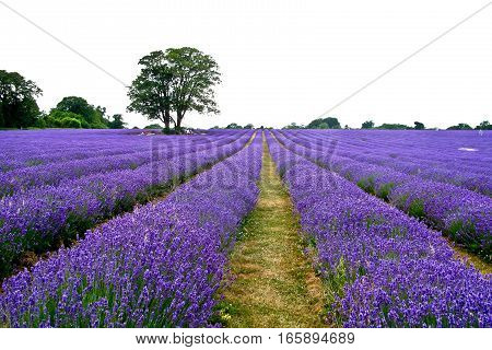 Lavender blooming in the field with big tree
